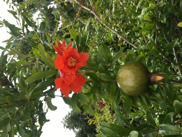 Flowers and young fruit on a Pomegranate Tree Photo By: Author 2019